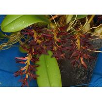 C Orquídea Bulbophyllum Saltatorium Adulta