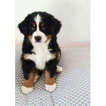 Preciosos Cachorros Boyeros De Berna Inscritos En El Kcc