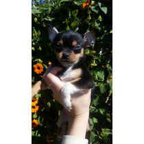 Chihuahua Hembra!