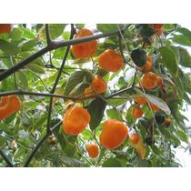 Chile Manzano , ( Planta ) , Semisombra , Semillas 100