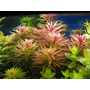 Limnophila Aromatica Plantas Para Acuario