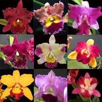 Kit Com 9 Mudas De Orquídeas - Tamanho 1