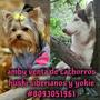 Cachorros Huski Siberianos Y Yorkie Toy