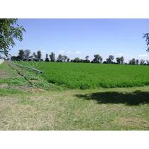 Alfalfa Maiz, Avena Forraje Pastura Alimnento Para Ganado
