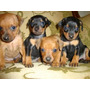 Exclusivos Cachorros Pincher Linea Miniatura