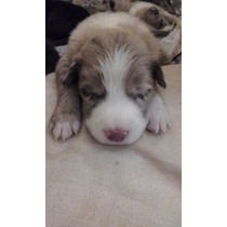 Cachorras Border Collie Red Merle Y Blue Merle Con Exc. Ped