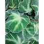 Plantas: Begonia Basilera