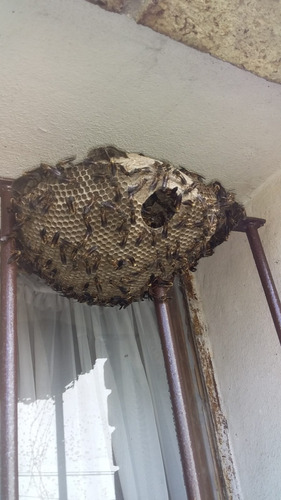 abejas colmenas enjambres avispas