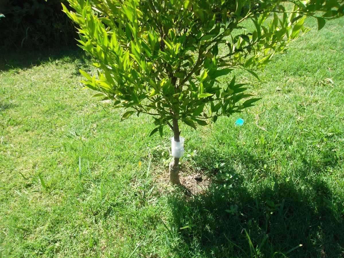Abrazaderas Anti Hormigas Para Todo Tipo De Arboles Frutales  ~ Cuando Hay Que Abonar Los Arboles Frutales