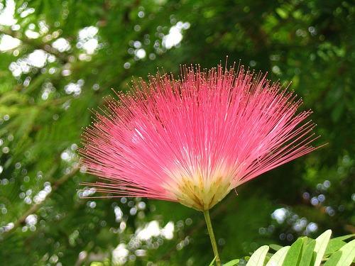 acacia de persia (10 semillas)