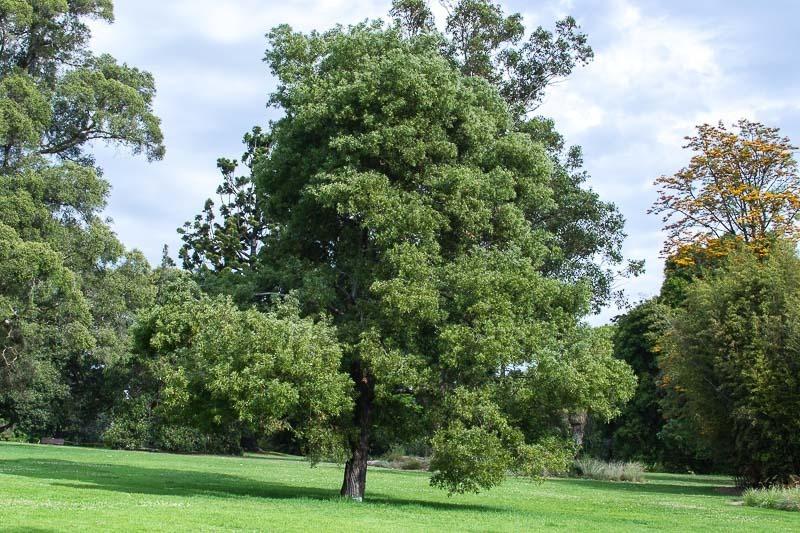 Resultado de imagen de Acacia melanoxylon