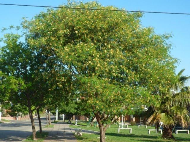 Acacia Visco Viscote Arbol Nativo 50000 En Mercado Libre