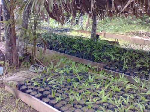 açaí sementes germinadas
