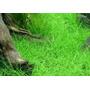 Eleocharis Minima Plantas Para Acuario