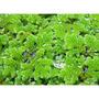 Azolla Caroliniana Plantas Para Acuario