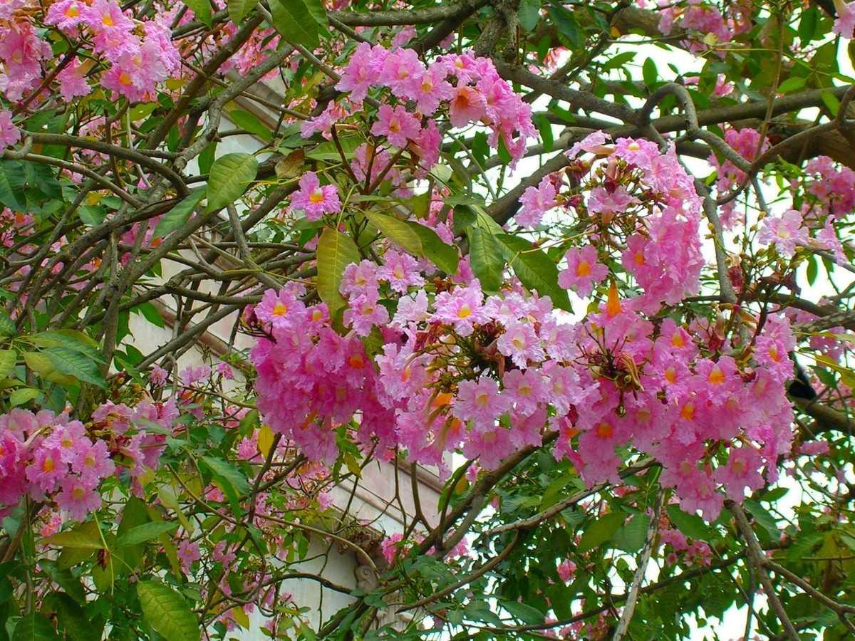 Resultado de imagen para palo rosa planta
