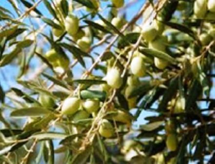 aceite prochef oliva 3 uniades