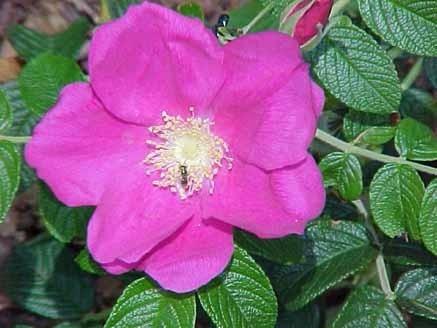 aceite puro y artesanal de rosa mosqueta  250ml saiku natura