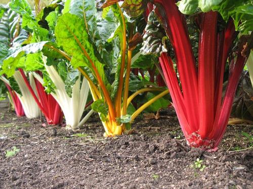 acelga arco iris - rainbow - hortaliça - sementes para mudas