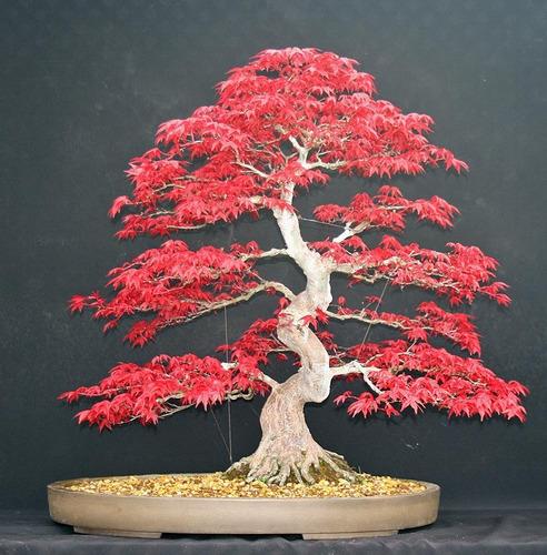 acer palmatum 50 sementes para bonsai.