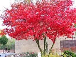acer palmatum vermelho árvore bonsai 10 semente frete grátis