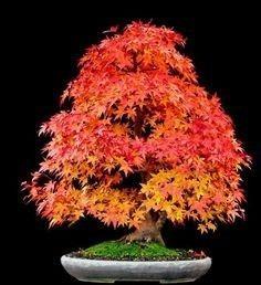 acer rubrum maple bôrdo vermelho americano canadá 10 semente