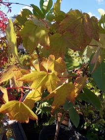 Arbol Acer Saccharinum Plantas En Mercado Libre Argentina