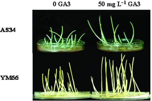 ácido giberélico hormonio do crescimento giberelina ga3 100g