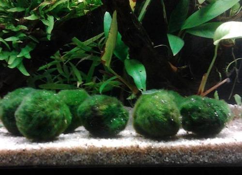 acuario-peces-plantas acuaticas imprt- anubia var. nana