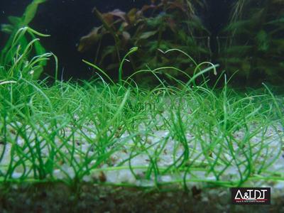 acuario-peces-plantas acuaticas imprt- pogostemon erectus