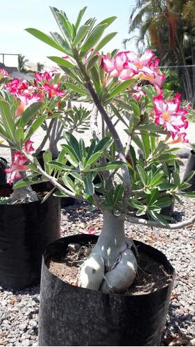 adenium bonsai 4 años de edad