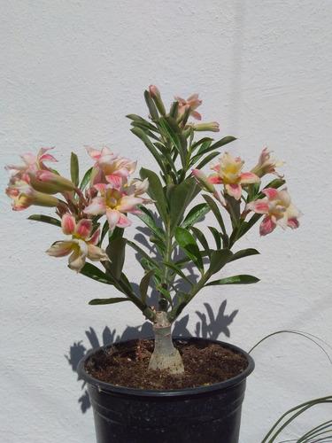 adenium o flor de desierto de injerto
