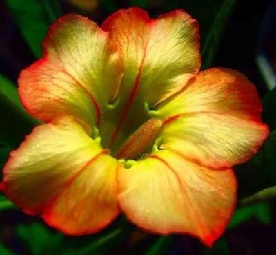 adenium obesun 40 sementes (raras) rosa do deserto