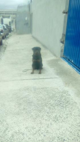 adestrador de cães