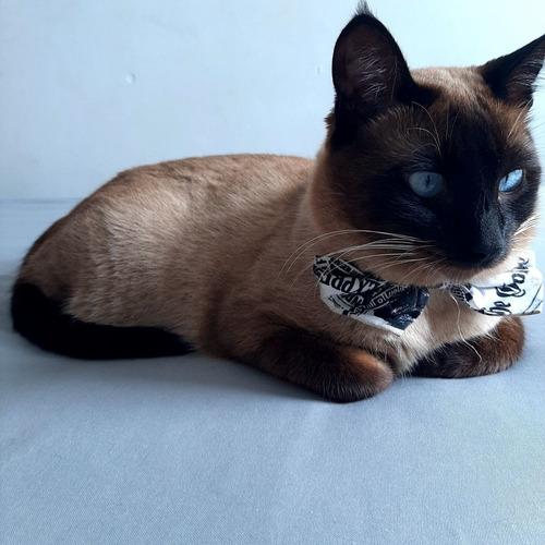 adocao -  gatinho  siamês