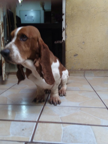 adopción de basset hound