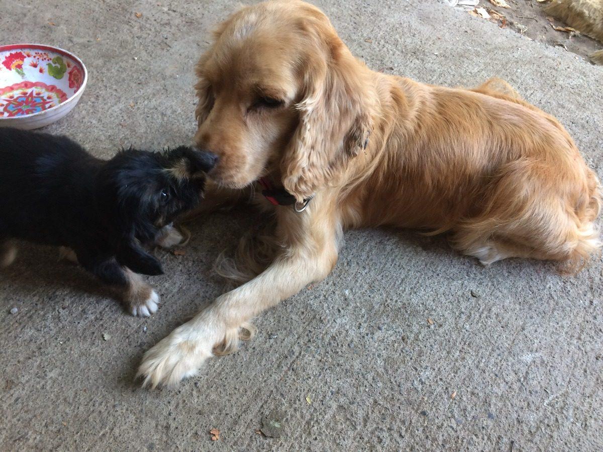 Adopción De Perritos Raza Pequeña 1 En Mercado Libre