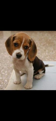 adopto perros cachorros de raza pequeña