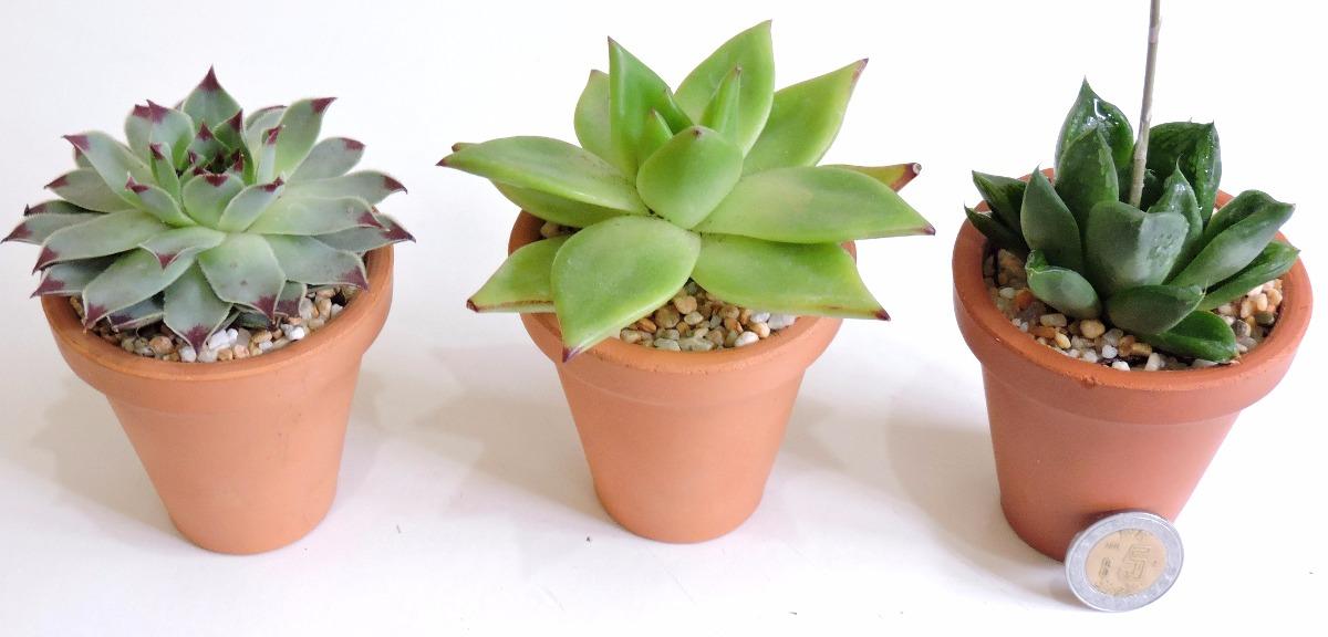 adorno para tu casa plantas fciles de cuidar suculentas