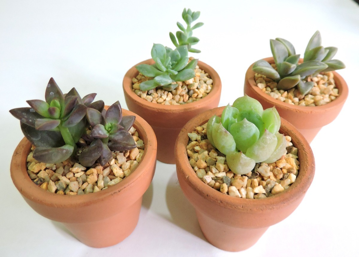 Adorno para tu casa plantas f ciles de cuidar suculentas - Como cuidar las hortensias en maceta ...