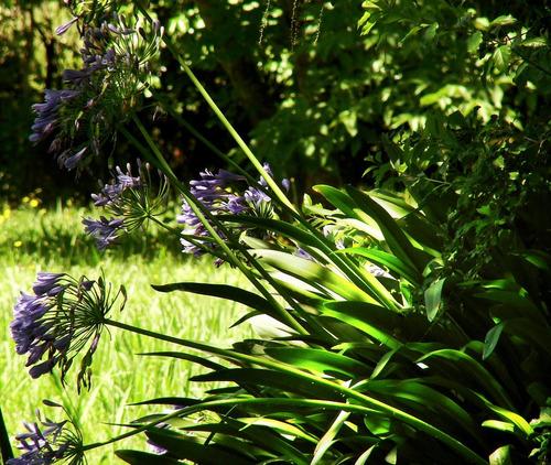 agapanthus lila floral lirio decorac / vive pecan hurlingham