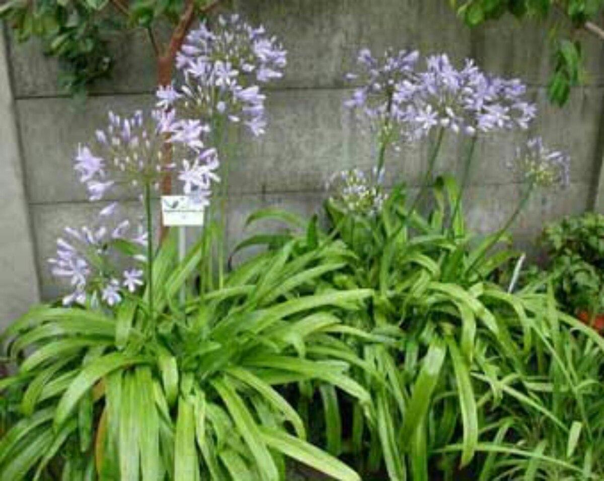Agapanto planta ornamental en mercado libre for Planta ornamental blanca nieves