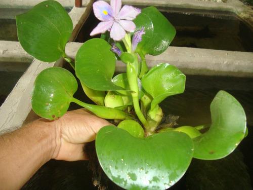 aguapé planta para lago 50 mudas
