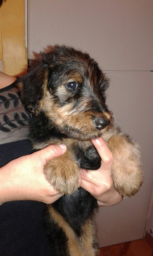airedale terrier muy lindos
