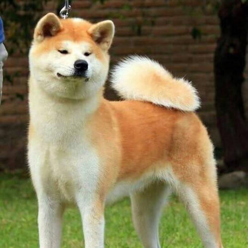 akita inu 100% japónes cachorros