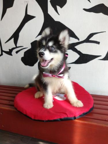 alaska malamute cachorros los mas hermosos