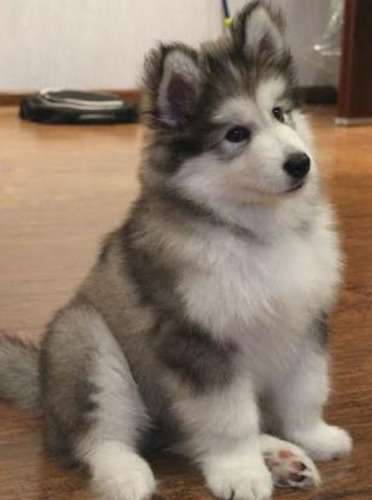 alaska malamute los mas hermosos
