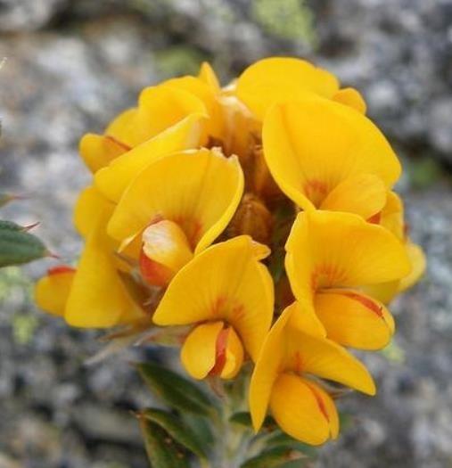 Alecrim Dourado Flor Rara P/muda 5 Sementes Hortaliça - R$ 28,90 ...