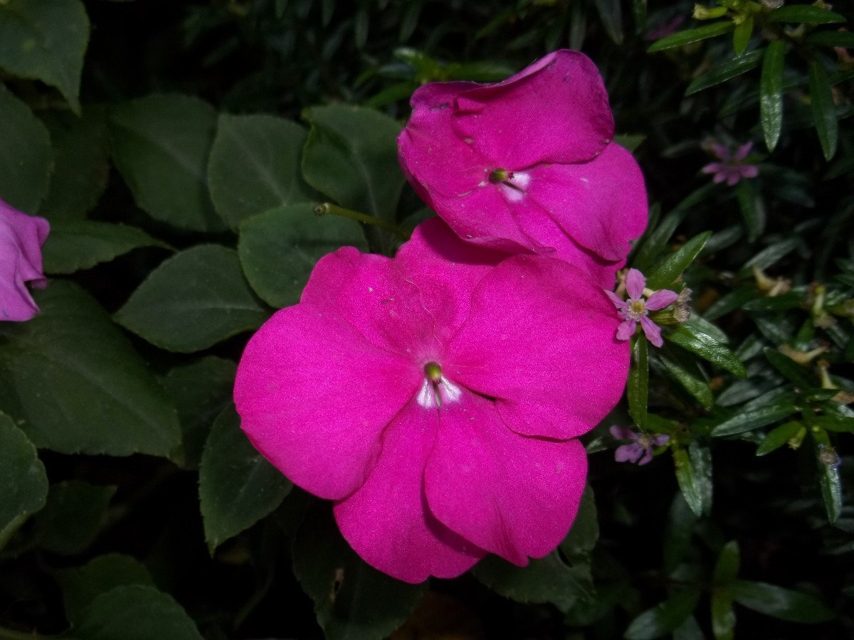 Alegria de la casa cuidados perfect alegria del hogar follaje rojos fitonia seneciao cineraria - Planta alegria del hogar ...