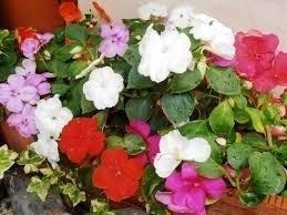 Alegrias plantas de variados colores primavera y verano 25 00 en mercado libre - Planta alegria de la casa ...